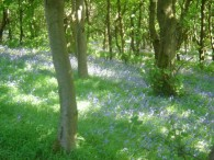 Blue bells at Piethorne May 2012